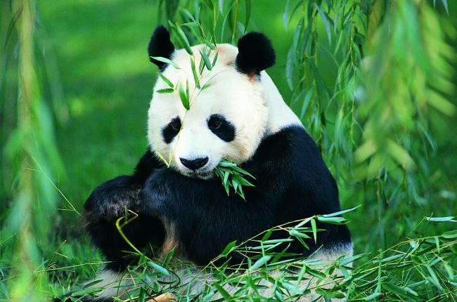 壁纸 大熊猫 动物 650_430